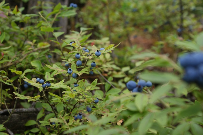 Fresh, wild blueberries!